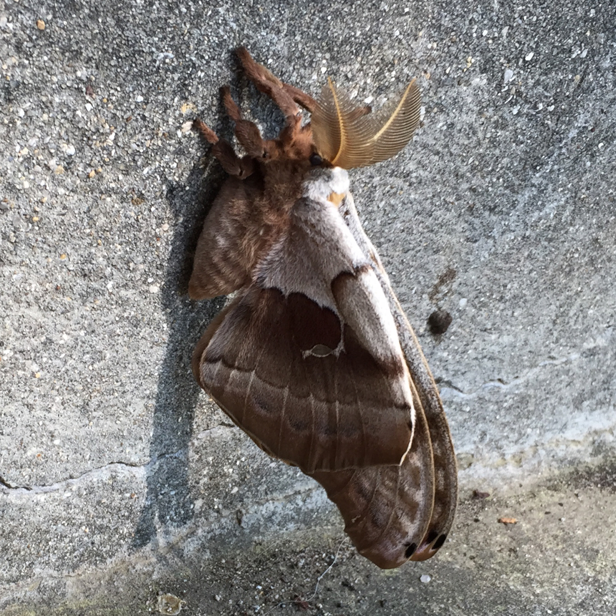 A Large Moth, possibly Polyphemus